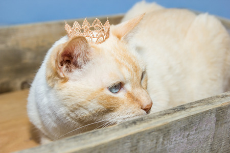 gray cat: Thai white with red marks cat with blue eyes wearing golden crown on his head sits in wooden box close-up shallow depth of field