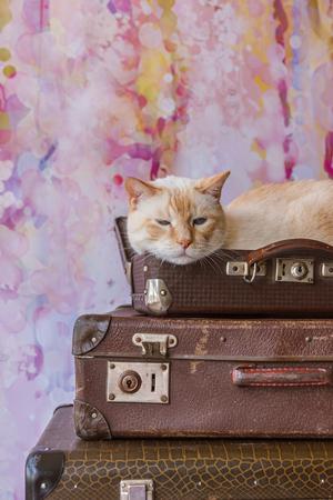 青い目を持つ赤いマークの猫とタイの白は、ピンクの背景にヴィンテージスーツケースの中に座って、フィールドの浅い深さのクローズアップ写真