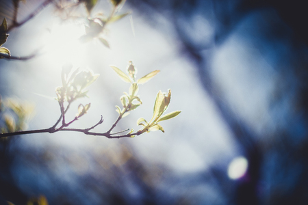 small branch of tree with fresh spring green leaves photo taken against the sun in contrasts background with bokeh toned image close-up shallow depth of field Stock Photo