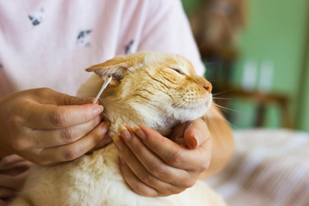 ginger and white Thai breed cat sits on the woman's lap and she cleans its ears close-up shallow depth of field