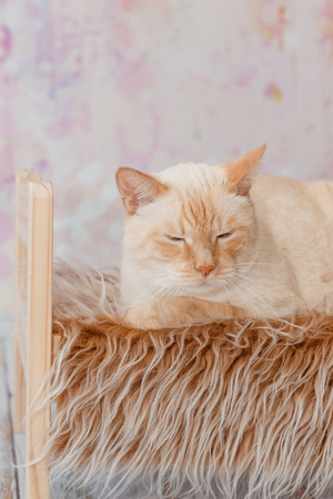 Thai white with red marks cat with blue eyes lies on small wooden bed with faux fur blanket on light background close-up shallow depth of field Stockfoto