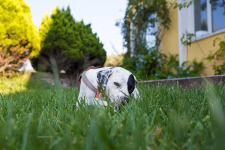 Domestic Pointer mixed with Dalmatian dog lying on the lawn Standard-Bild