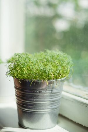 Dill sprouts in aluminum pot on windowsill. Close-up, shallow depth of field with beautiful bokeh on background.