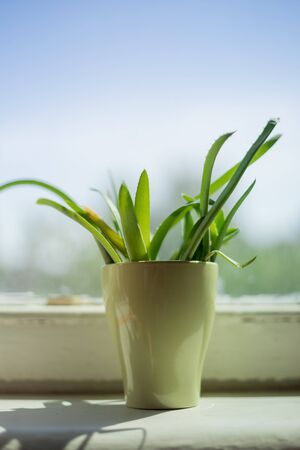 aloe leaves in green mug on windowsill. Close-up, shallow depth of field with beautiful bokeh on background.