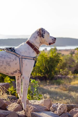 Black and white domestic Pointer mixed with Dalmatian dog wearing harness and collar stand outdoor looking at mountain landscape Imagens