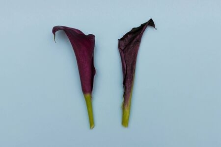 Two calla lilies on colored background. One good, one withered. Concept of comparing the healthy and the dead