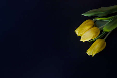 Three yellow tulips top view on black background. Close-up, shallow depth of field, place for text