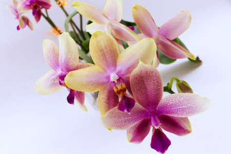 Moth orchid aroma hybrid Liodoro flowers, closeup, color photography