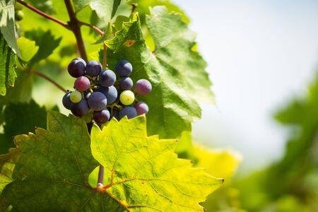 Raceme of the Primitivo grape, organic vineyard in Salento, Racemo of the Primitivo grape, organic vineyard in Salento, grows in natural conditions Stock Photo