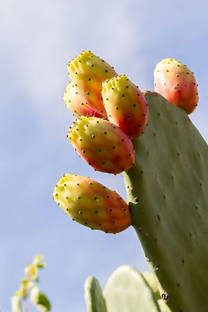 Prickly pear cactus with fruit and cactus spines, fichi d'india are a typical fruit of the south of Italy, growing in Apulia, Sicily