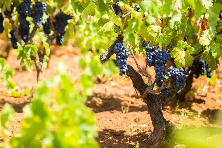 The branch of a vine with bunches of ripe grapes. Primitivo is a dark-skinned grape known for producing inky, tannic wines, particularly Primitivo di Manduria and its naturally sweet variant.