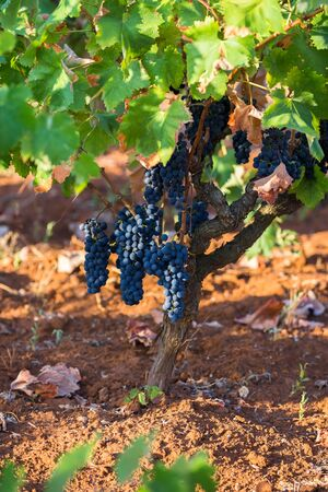 The branch of a vine with bunches of ripe grapes. Primitivo is a dark-skinned grape known for producing inky, tannic wines, particularly Primitivo of Manduria and its naturally sweet variant. Reklamní fotografie