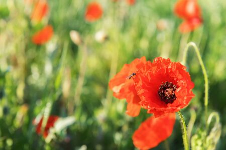Red Poppy is on a green blurred flower spring background. Floral border and flower decoration, spring concept, selective foto and copy space