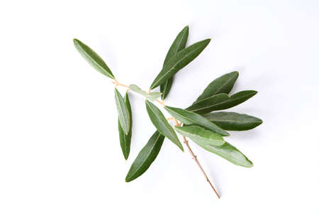 Olive branch and leaves isolated on white background