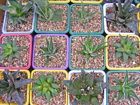alignments: Varieties of succulents  hawortia and aloe