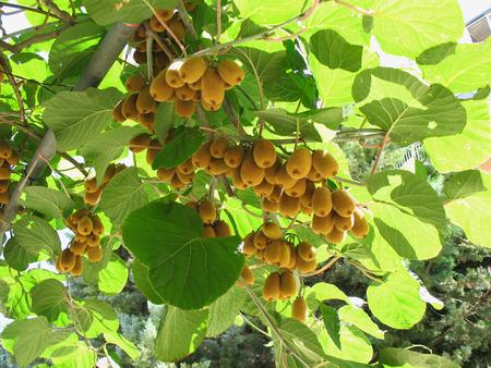 The kiwifruit on a tree. Liana tree kiwi