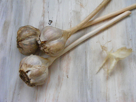 Vintage picture : white garlic on white wooden background