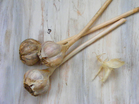 Braided garlic on shabby wooden background