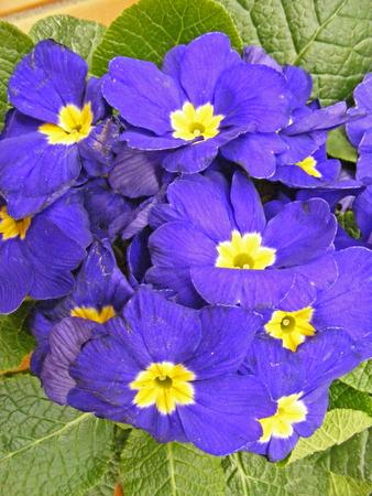 Easter picture blue primula - primrose