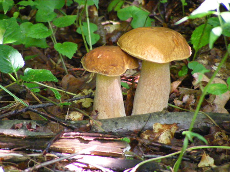 Two cepes mushroom growing in the summer wood.