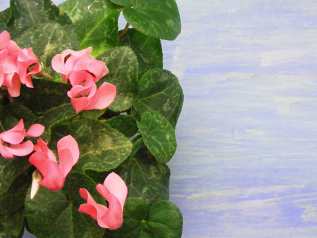 Pink cyclamen flower on blue wooden background card with copy space for text