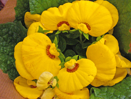 Yellow calceolaria flowers
