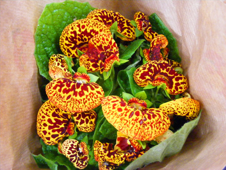 Calceolaria - group of Yellow tiger spotted flowers, yellow calceolaria flowers with maroon spotting