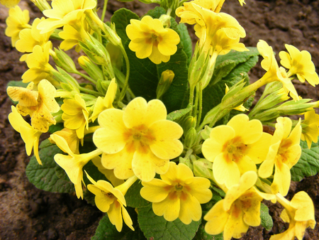 Yellow spring flowers and green leaves of culverkeys or paige (Primula Veris) or Primrose - Primula vulgaris