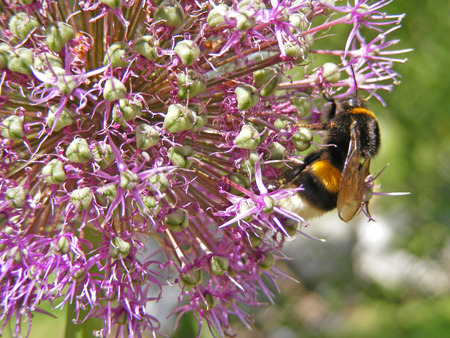 Close-Up Macro of Yellow and Black Bumble Bee on Purple bulbous allium flower