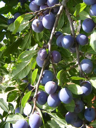 Purple plum on green background. Organic fruit. Plum harvest., vertical photo Banco de Imagens
