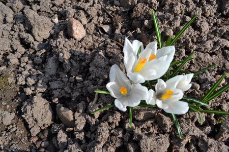 Spring blossom of white crocus vernus Jeanne d Arc. Garden flower. Top view. Happy easter.