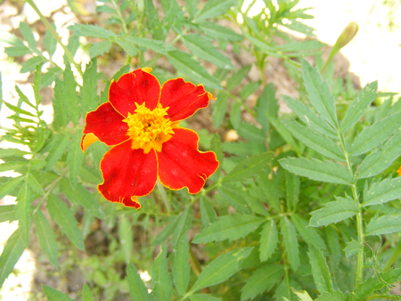 Tagetes patula, beautiful tagetes. Floral background. Garden care. Summer blossom background.