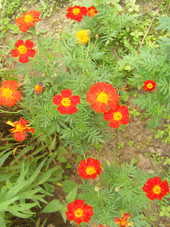 Flowers of Tagetes patula, vertical natural photo