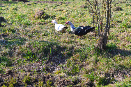 Organic poultry: muscovy ducks. Rural landscape. Farming, agriculture.