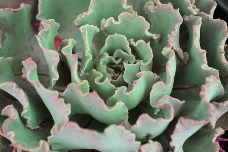 succulent echeveria in form of terry cabbage close up texture