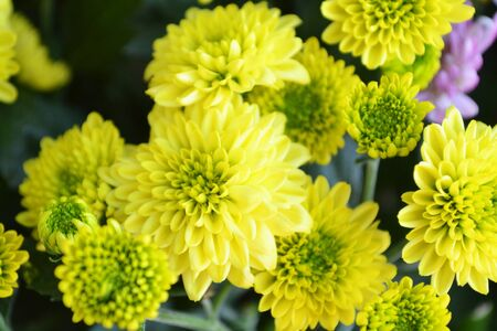 blossom of yellow Chrysanthemum flowers ( Chrysanthemum coronarium )