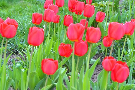 Red blooming tulips on the background of Green lawn.