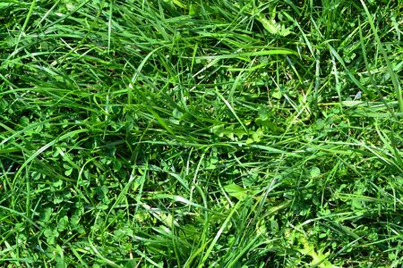 Green grass texture background. Natural going green color