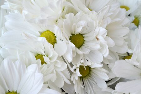 Chrysanthemum koreanum Athena with white flowers close up background Reklamní fotografie