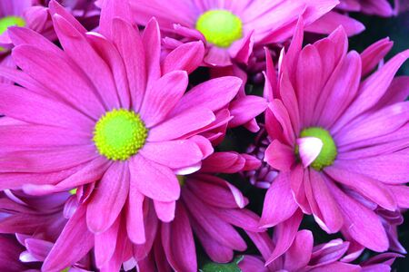 Chrysanthemum koreanum with pink or violet flowers close up background