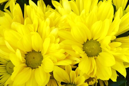 blossom of yellow Chrysanthemum flowers ( Chrysanthemum Altyn Ay)