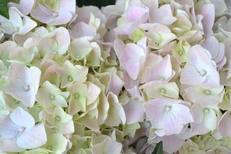 Hydrangea white bloming in garden, hydrangea arborescens Annabelle white balls summer flowers.