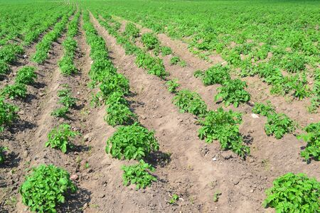 Potato plantations grow in the field. vegetable rows. farming, agriculture.