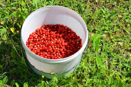 Bucket with red wild strawberry on green grass. A bucket of strawberries stands on green grass Reklamní fotografie