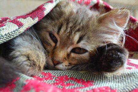 The young cat. kitten in the bedroom is covered with a blanket in russian style Stock Photo