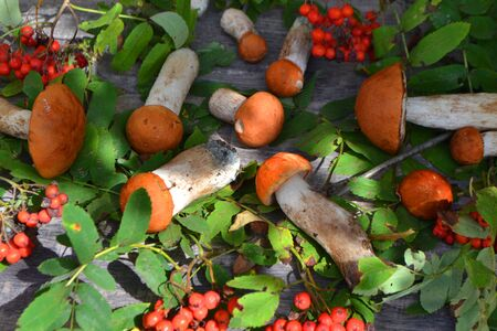 Forest mushrooms. Autumn background. Red cap boletus mushroom with branch of rowanberry, food texture background