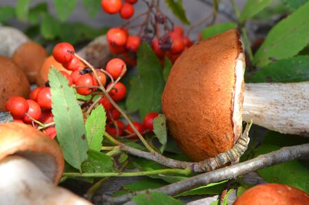 Red cup boletus mushrooms and berries on a wooden background close up Stockfoto