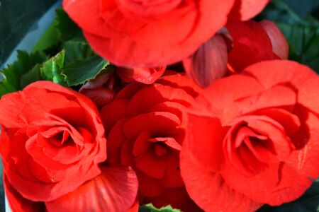 Beautiful red begonia close up with blurred green leaves 写真素材