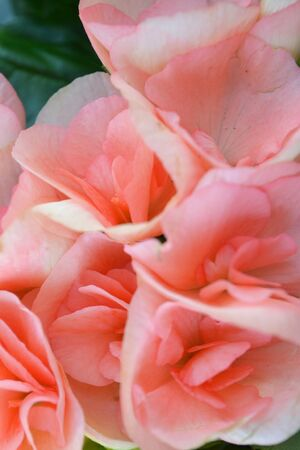 Beautiful Pink or coral begonia flowers background, vertical image