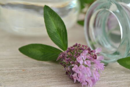 Red clover oil, herbal alternative medicinal plant, red clover plants on shabby table